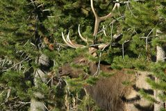 Bull Elk in Camo. Bull elk hiding in forest in Yellowston National Park, Wyoming royalty free stock photography