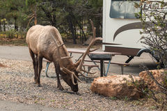 Bull Elk in Campground Royalty Free Stock Images