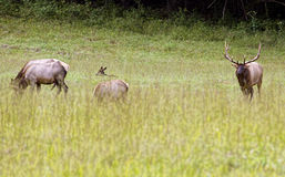 Bull Elk in Cataloochee during the rutting season. Stock Images
