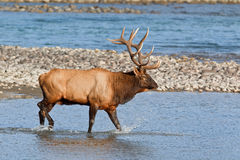 Bull elk, cervus canadensis Royalty Free Stock Photography