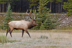 Bull elk, cervus canadensis Royalty Free Stock Images