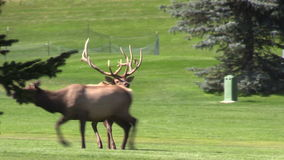 Bull Elk Chasing a Cow in Rut stock video footage