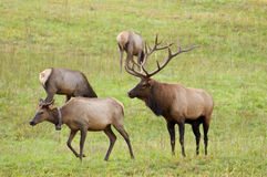 Bull Elk checking out his harem. Bull Elk with large antlers in evening light Stock Images