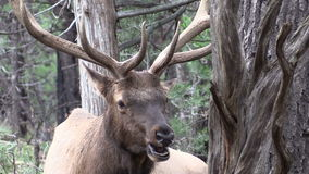Bull Elk Close Up Stock Image