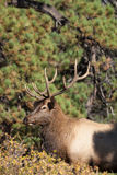 Bull Elk Close Up Royalty Free Stock Photography