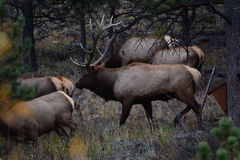 Bull elk in Colorado. This is a bull elk with a harem of cows during the rut in the fall Royalty Free Stock Photo