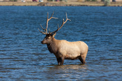 Bull Elk Cooling off in Lake Royalty Free Stock Image