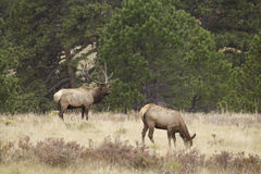 Bull Elk and Cow Stock Photography