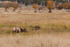 Bull Elk and Cow in Meadow Royalty Free Stock Photo