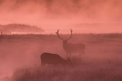 Bull Elk with Cow at Sunrise Royalty Free Stock Photography