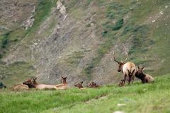 Bull Elk and Cows Stock Photo