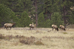 Bull Elk With Cows Royalty Free Stock Photo