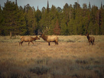 Bull Elk and Cows Stock Photography