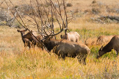 Bull Elk and Cows Royalty Free Stock Photography