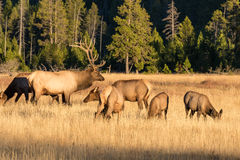 Bull Elk and Cows Royalty Free Stock Image
