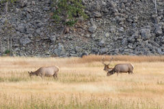 Bull Elk and Cows Stock Image