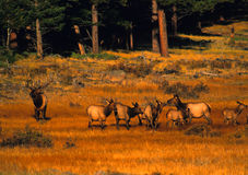 Bull Elk with Cows Rutting Royalty Free Stock Image