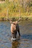 Bull Elk Crosses a Stream Royalty Free Stock Images
