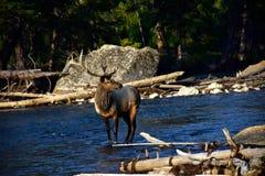 Bull Elk crossing the Madison River royalty free stock photos