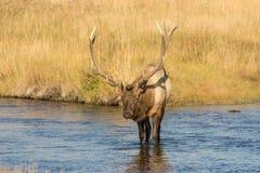 Bull Elk Crossing a River Royalty Free Stock Image
