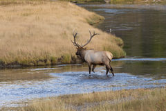 Bull Elk Crossing a River Royalty Free Stock Images