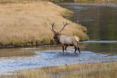 Bull Elk Crossing a River Royalty Free Stock Images