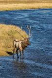 Bull Elk Crossing a  Stream Royalty Free Stock Photography