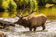 Bull Elk Crossing Stream Bugling Stock Image