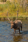 Bull Elk Crossing a Stream Royalty Free Stock Image