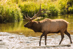 Bull Elk Crossing Stream Royalty Free Stock Image