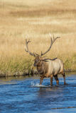Bull Elk Crossing Stream Royalty Free Stock Photography
