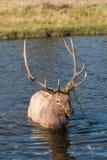 Bull Elk Crossing Stream in Rut Royalty Free Stock Photo