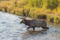 Bull Elk Crossing a  Stream Stock Photo