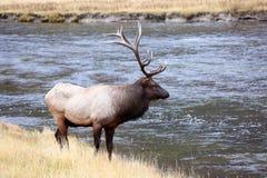 Bull Elk Crossing Yellowstone River Stock Photo