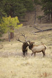 Bull Elk and Cute Calf Stock Photos