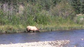 Bull Elk Drinking stock video footage