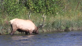 Bull Elk Drinking stock video