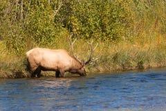 Bull Elk Drinking Stock Photo