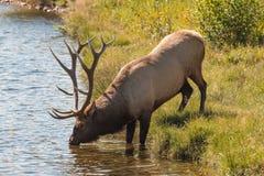 Bull Elk Drinking Royalty Free Stock Images