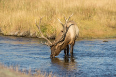 Bull Elk Drinking in a Stream Stock Photo