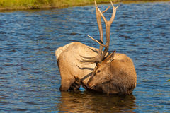 Bull Elk Drinking in Stream Stock Image