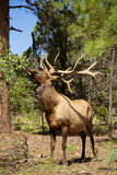 Bull Elk Eating. A big bull elk eating leaves off a bush Royalty Free Stock Photos
