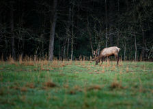 Bull Elk Eating Grass in Early Spring royalty free stock photos