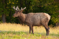 Bull Elk. A bull elk eating grass in a field Stock Images