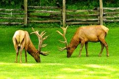 Bull elk eating on green grass Stock Images