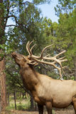 Bull Elk Eating Leaves Stock Photography