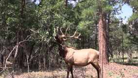Bull Elk Eating Leaves stock video footage