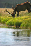 Bull elk eating by stream royalty free stock photos