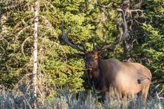 Bull Elk Emerging From timber Stock Image