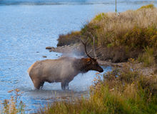 Bull Elk Exiting Lake Royalty Free Stock Photos
